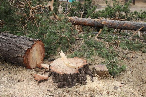 Возбуждено уголовное дело в связи с незаконной вырубкой 75 деревьев в Лерике